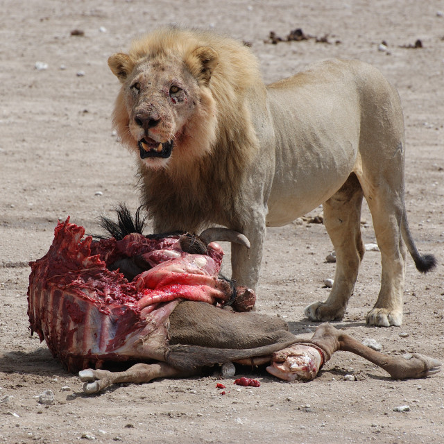 """""""Lion eating a wildebeast"""" stock image"""
