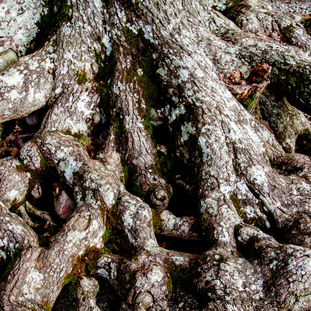 """Exposed Tree Roots"" stock image"