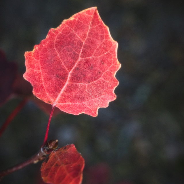 """Light In The Woods V (Red Leaf)"" stock image"