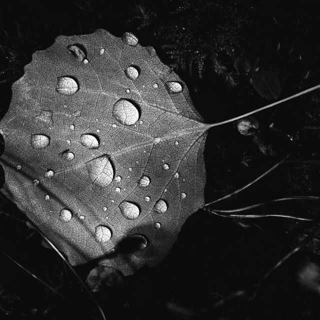"""Light In The Woods I (Leaf And Water Drops)"" stock image"