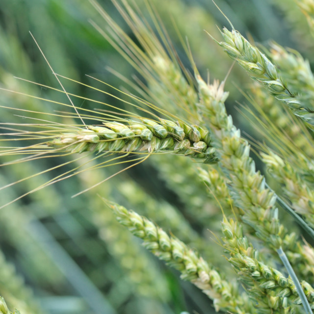 """ripening barley"" stock image"