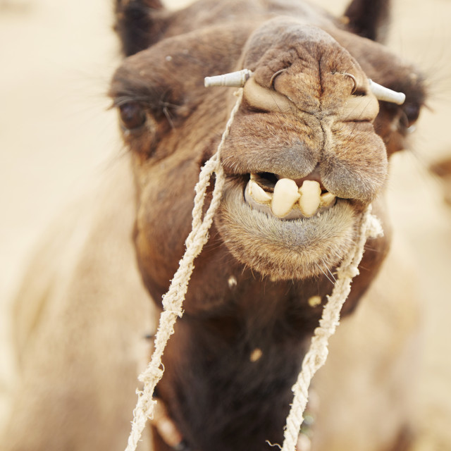 """Camel Grin"" stock image"