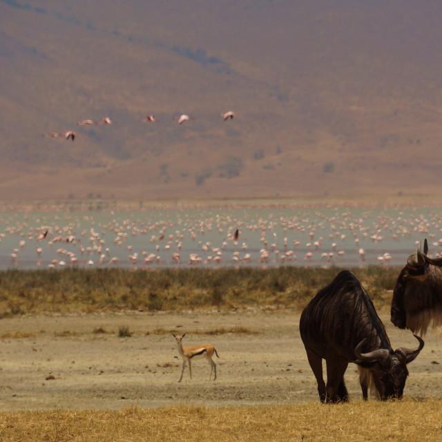 """Flamingo Lake Wildebeest"" stock image"