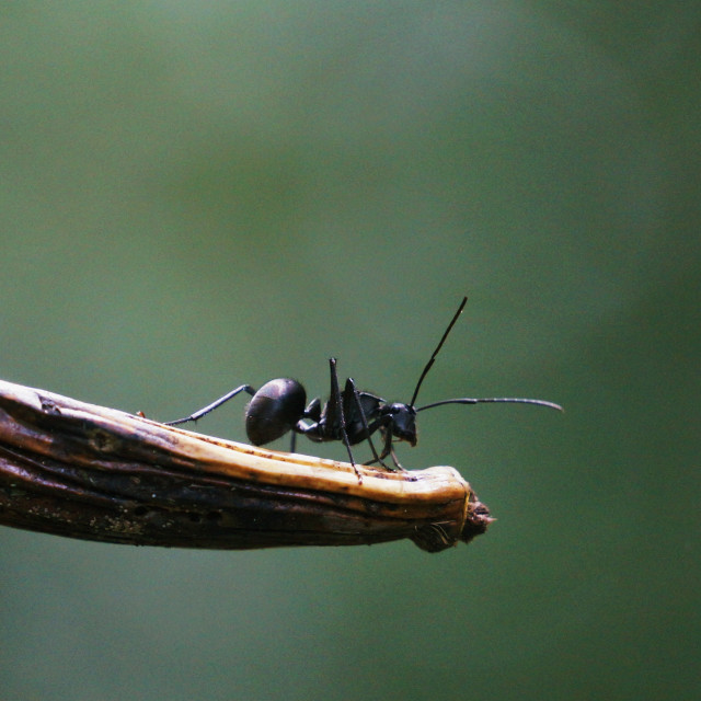 """""""Bullet Ant"""" stock image"""
