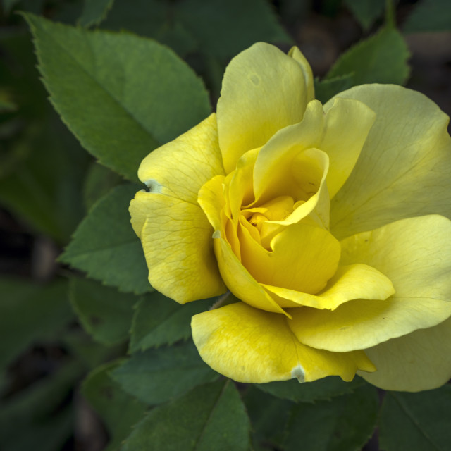 """""""The Yellow Rose"""" stock image"""