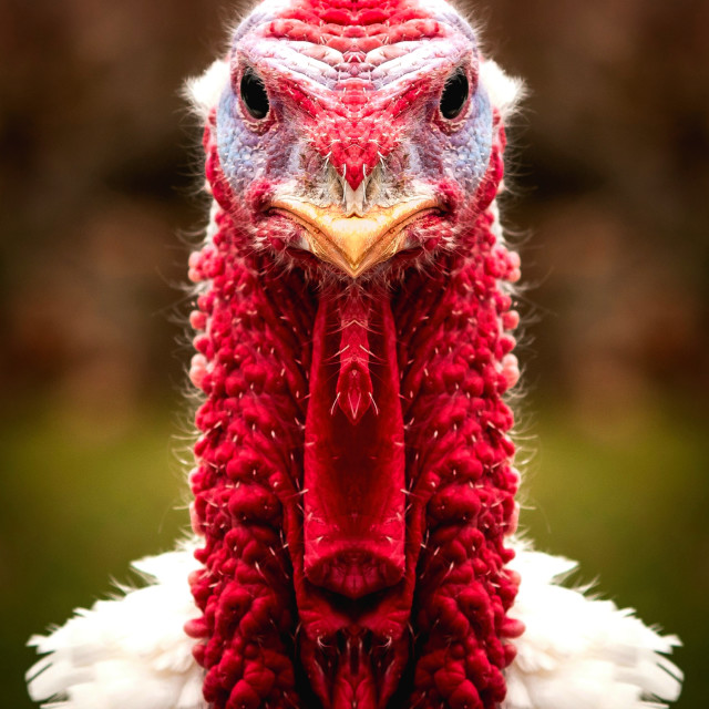 """Thanksgiving Tom"" stock image"
