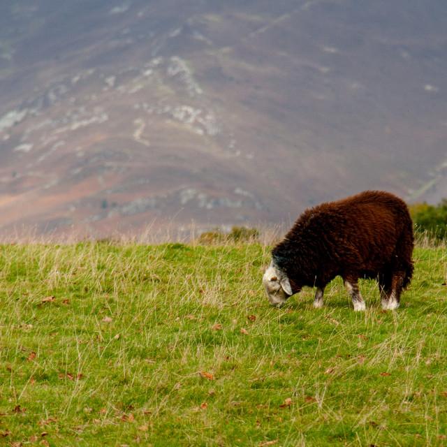 """""""Herdwick Sheep, Grazing."""" stock image"""