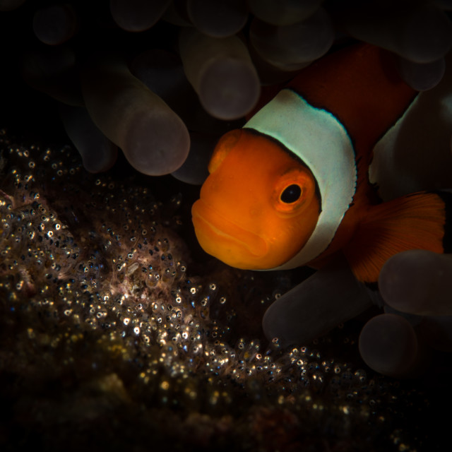 """""""Clownfish and eggs"""" stock image"""
