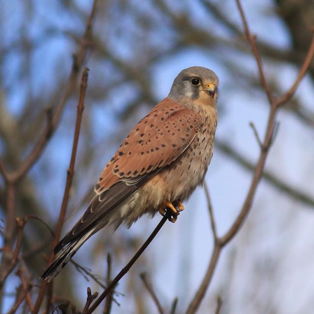"""European kestrel, Eurasian kestrel, common kestrel, Falco tinnunculus"" stock image"