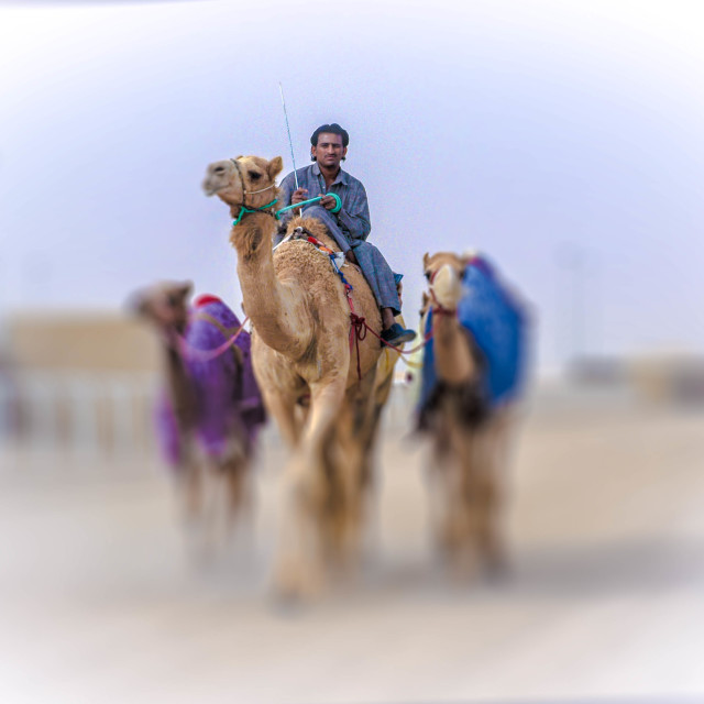 """The Shepherd & His Camels"" stock image"