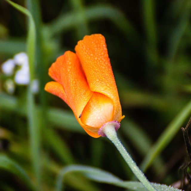 """""""Poppyflower"""" stock image"""
