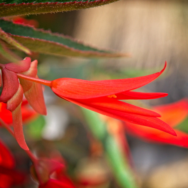 """""""Bright Red Begonia Flower"""" stock image"""