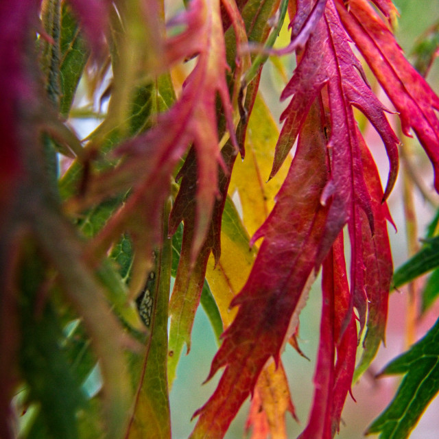 """""""Autumnal Acer Leaves"""" stock image"""