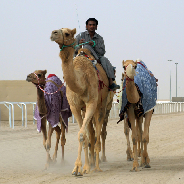 """Shepherd and Camels"" stock image"