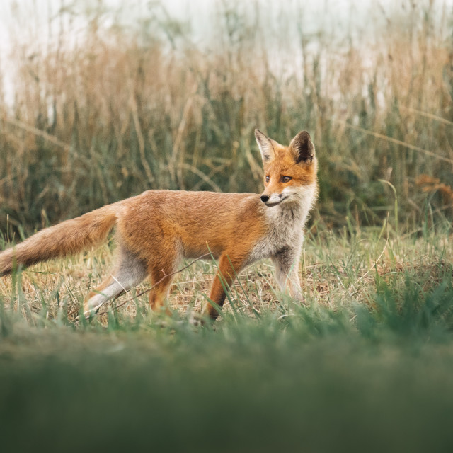 """""""Fox"""" stock image"""