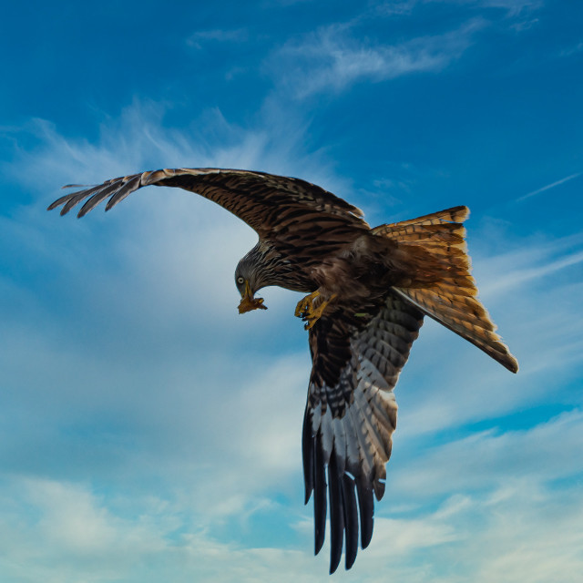 """""""Red Kite against Blue Clouds"""" stock image"""