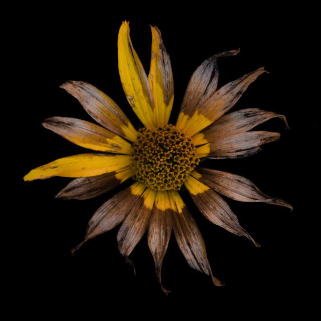 """""""Isolated flower on black background"""" stock image"""