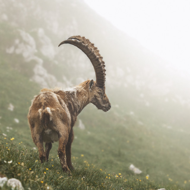 """""""Ibex in the morning"""" stock image"""