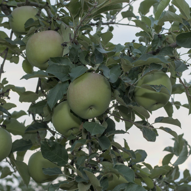 """green apples hanging in tree"" stock image"