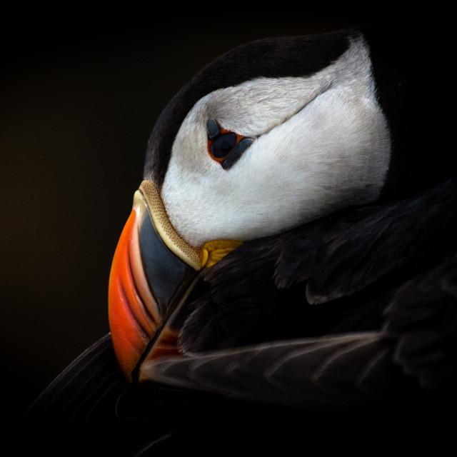 """Preening puffin - Atlantic puffin (Fratercula arctica)"" stock image"