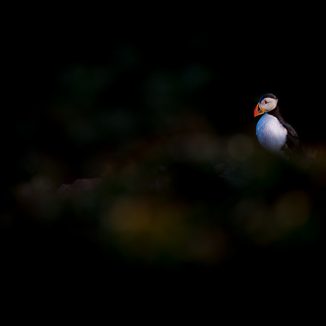 """Solitary puffin - Atlantic puffin (Fratercula arctica)"" stock image"