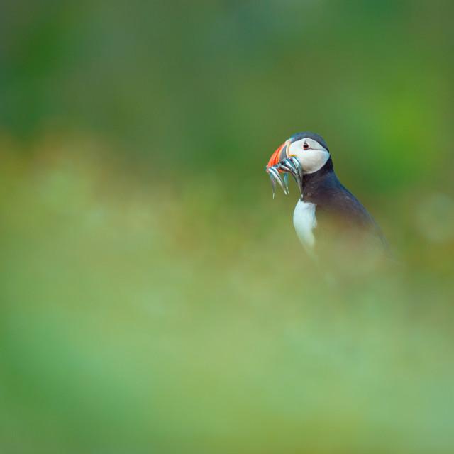 """Lost - Atlantic puffin (Fratercula arctica)"" stock image"