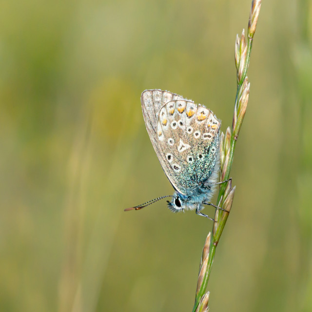 """""""Common Blue Butterfly"""" stock image"""