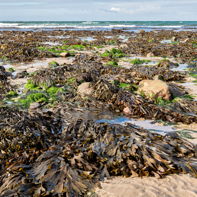 """""""Seaweed and rocks at low tide"""" stock image"""