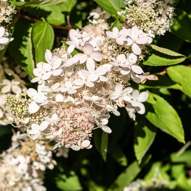 """""""Hydrangea Paniculata Kyushu flowers in bloom"""" stock image"""