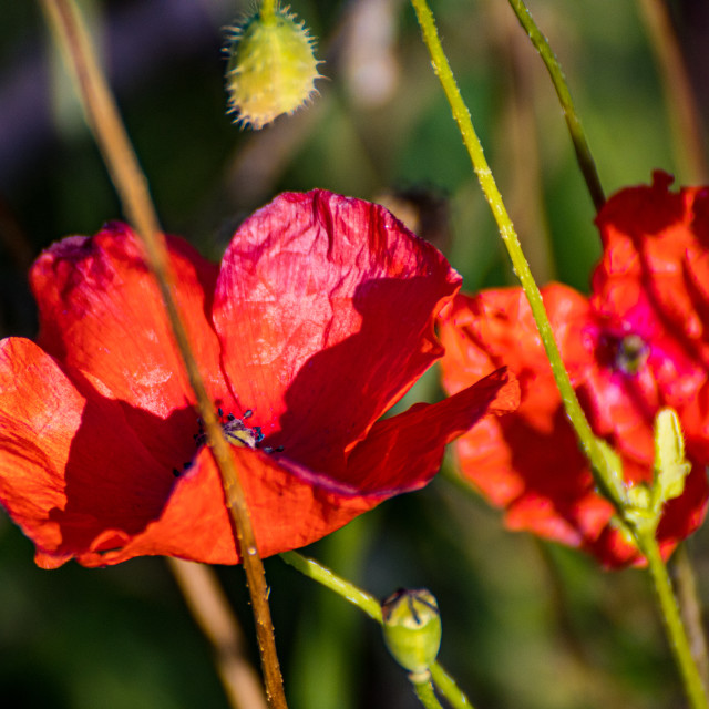 """Poppyflowers"" stock image"