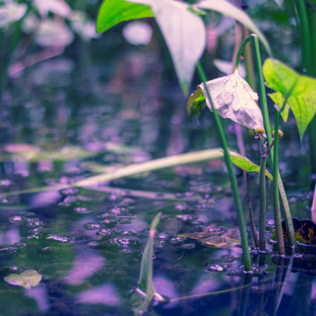 """Dream-Like Pond & Lily-Pads"" stock image"