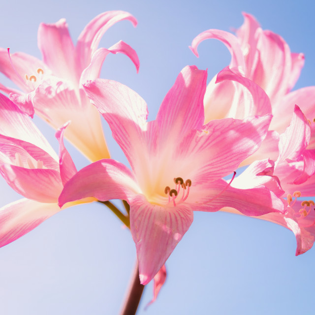 """Another Lily"" stock image"