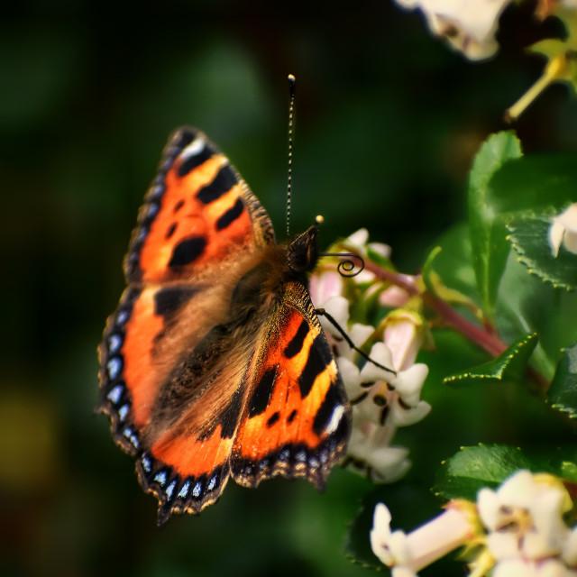 """Small Tortoiseshell Butterfly (Aglais urticae)"" stock image"
