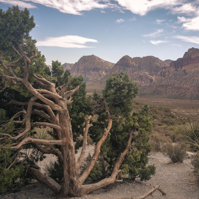 """Twisted Tree, Desert + Mountains"" stock image"