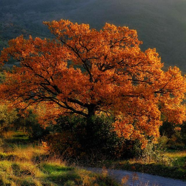 """mediterranean-downy-oak-tree"" stock image"
