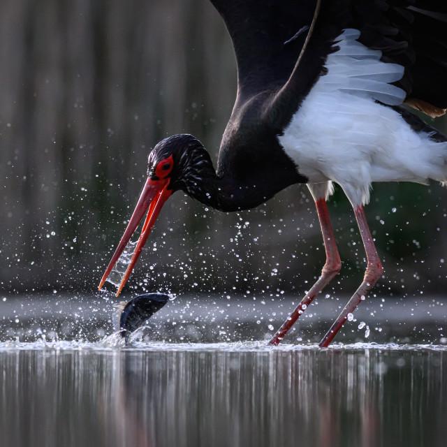 """Break free - Black stork (Ciconia nigra)"" stock image"