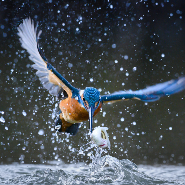 """The catch - Kingfisher (Alcedo atthis)"" stock image"