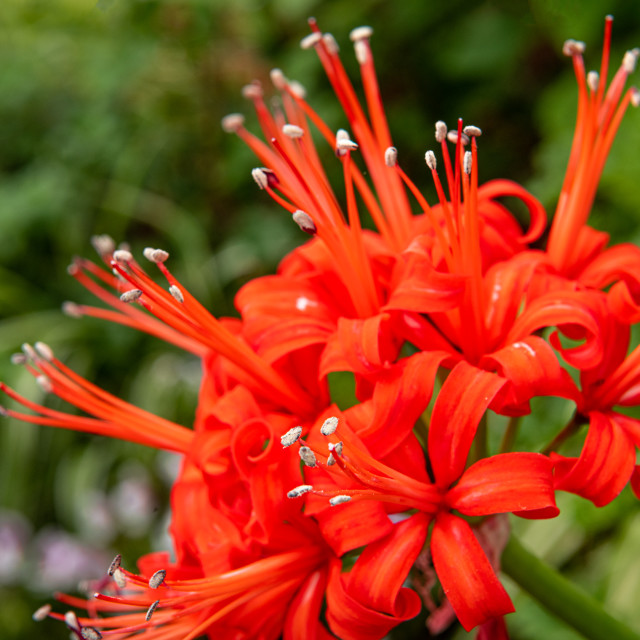 """""""Jersey Lily - Nerine Sarniensis - in Bloom"""" stock image"""
