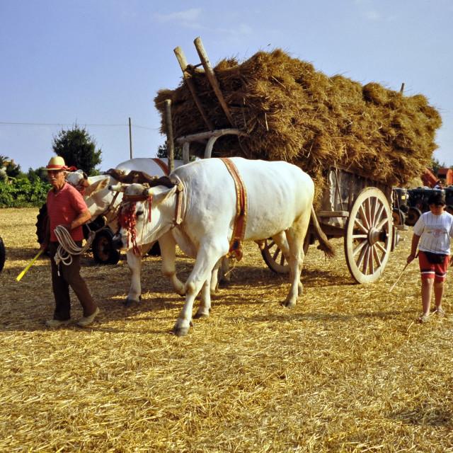 """""""Harvest time in Cortona"""" stock image"""