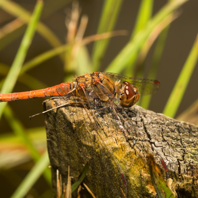 """Red Dragonfly resting"" stock image"