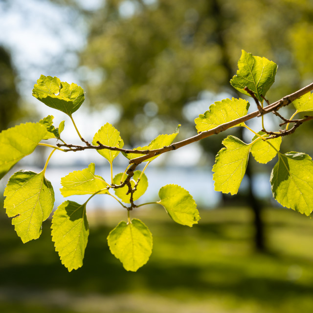 """Poplar leaves in backlight, near the Dnieper River in Kiev"" stock image"