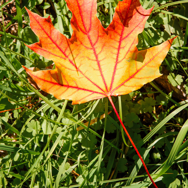 """Maple Leaf in Autumn (Acer platanoides)"" stock image"