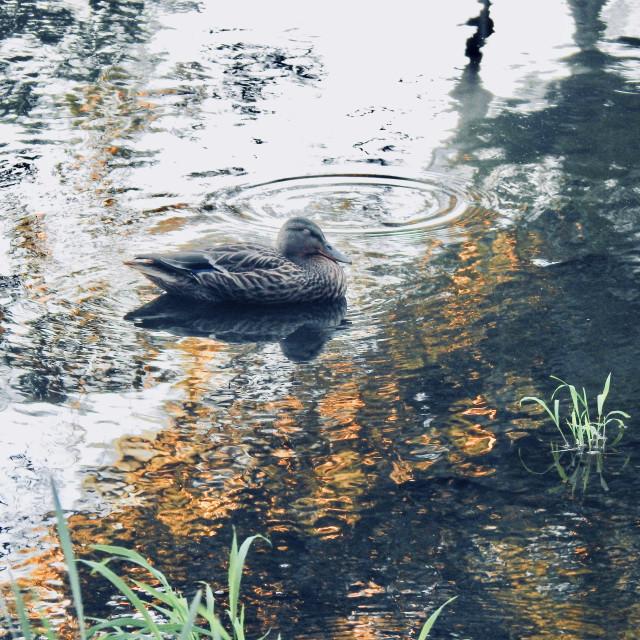 """Black Duck"" stock image"
