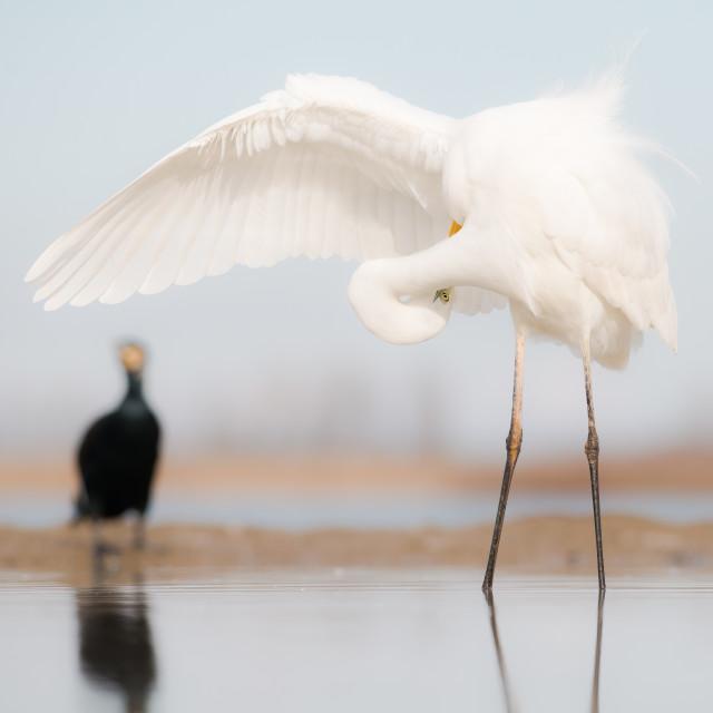 """Now where was it? - Great egret (Egretta alba)"" stock image"