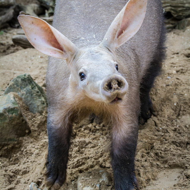 """Nosey Aardvark"" stock image"