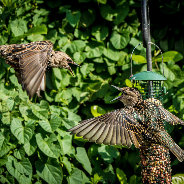 """Starling altercation"" stock image"