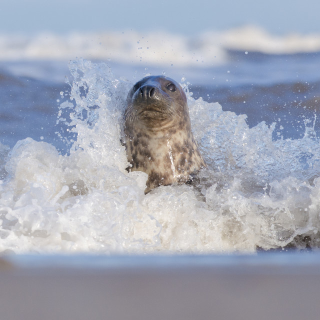 """Seal splash - Grey seal (halichoerus grypus)"" stock image"