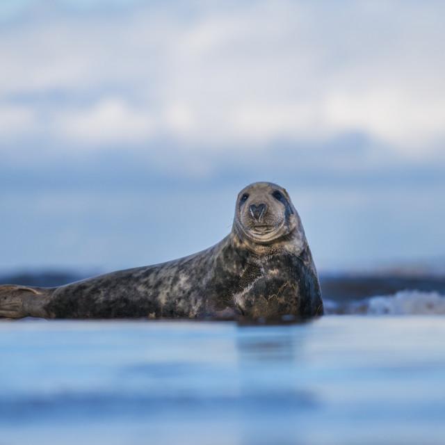 """The Majestic Seal - Grey seal (halichoerus grypus)"" stock image"