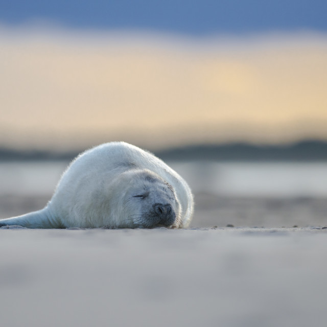 """""""Tired pup - Grey seal (halichoerus grypus)"""" stock image"""