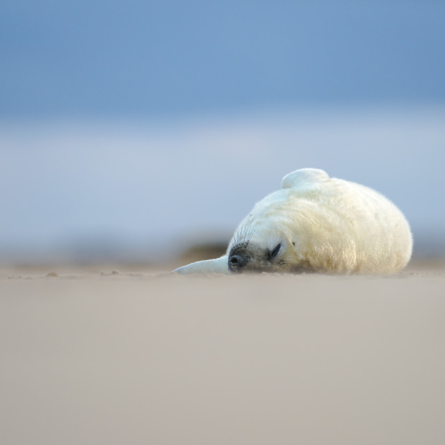 """Sleeping pup - Grey seal (halichoerus grypus)"" stock image"